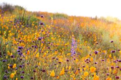 明亮的橙色充满活力的生动的金黄花菱草,在绽放,惊人的山坡的季节性春天本地植物野花 图库摄影