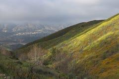 明亮的橙色充满活力的生动的金黄花菱草,在绽放,有薄雾的早晨山坡的季节性春天本地植物野花 库存照片