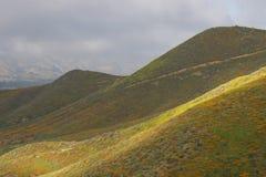 明亮的橙色充满活力的生动的金黄花菱草,在绽放,有薄雾的早晨山坡的季节性春天本地植物野花 免版税库存照片