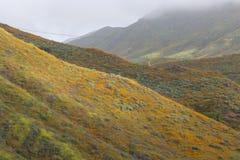 明亮的橙色充满活力的生动的金黄花菱草,在绽放,有薄雾的早晨山坡的季节性春天本地植物野花 库存图片