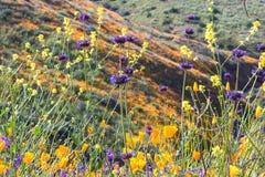 明亮的橙色充满活力的生动的金黄花菱草,季节性春天本地植物,关闭紫色和黄色野花 免版税图库摄影