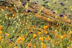 明亮的橙色充满活力的生动的金黄花菱草,季节性春天本地植物,关闭紫色和黄色野花 免版税库存图片