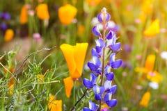 明亮的橙色充满活力的生动的金黄花菱草,季节性春天本地植物,在绽放关闭的野花紫色羽扇豆 免版税库存图片