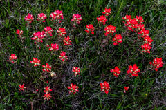 明亮的橙色印地安人Painbrush野花群的一个顶上的看法在路旁草甸在俄克拉何马。 库存照片