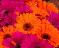 明亮的橙色和流行粉红大丁草雏菊 图库摄影