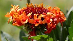 明亮的橙色和红色花的迅速移动的图片 免版税库存图片