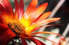 明亮的橙色和黄色雏菊花特写镜头 免版税库存照片