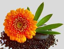 明亮的橙色大丁草Pomponi Bonita花 库存照片