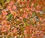 明亮的橙色秋天叶子-背景 免版税库存图片