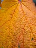 明亮的橙色秋天叶子 免版税库存图片