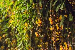 明亮的橙色花在一个垂悬的热带庭院里 库存照片