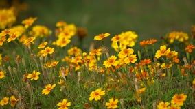 明亮的橙色花在庭院里 射击沿黄色花的一台移动的照相机 股票视频