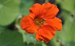 明亮的橙色花在庭院里 免版税库存照片