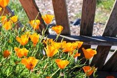 明亮的橙色花菱草 库存照片