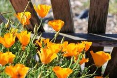 明亮的橙色花菱草 免版税库存照片