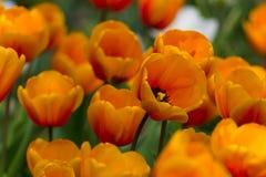 明亮的橙色郁金香的难以置信的充满活力的领域 免版税库存图片