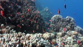 明亮的橙色鱼学校在干净的蓝色背景水下的红海的 股票视频