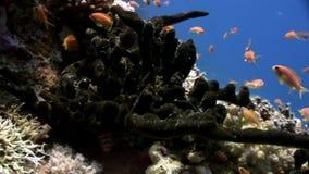 明亮的橙色鱼学校在干净的蓝色背景水下的红海的 影视素材
