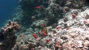 明亮的橙色鱼学校在干净的蓝色背景水下的红海的 股票录像