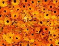 明亮的橙色头状花序金盏菊金盏草Officinalis 库存图片