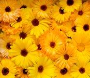 明亮的橙黄头状花序金盏菊金盏草Officin 库存图片