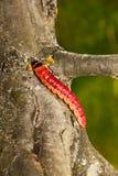 明亮的毛虫爬行巨大的结构树 库存图片