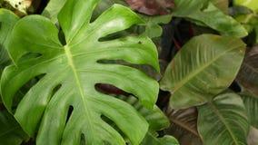 明亮的水多的异乎寻常的热带绿叶在密林 选择聚焦自然有机背景,异常的植物叶子 ?? 股票录像