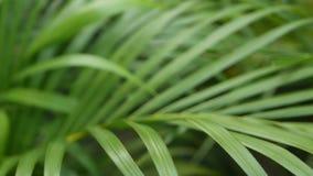 明亮的水多的异乎寻常的热带绿叶在密林 选择聚焦自然有机背景,异常的植物叶子 ?? 股票视频