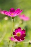 明亮的波斯菊在阳光下开花在庭院里 一朵花的艺术性的图象与软的焦点的 选择聚焦 库存图片