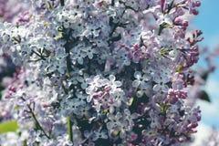 明亮的淡紫色花在庭院里在春天, 4月,庆祝 库存照片