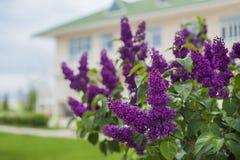 明亮的淡紫色花束,反弹淡紫色灌木 免版税库存照片
