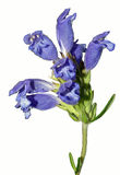 明亮的淡紫色蓝色花唯一词根  库存图片