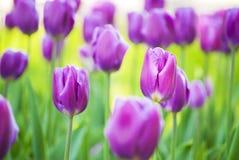 明亮的淡紫色郁金香 免版税库存照片