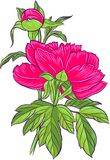 明亮的牡丹粉红色 库存照片