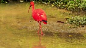 明亮的猩红色朱鹭在浅水区走 股票录像