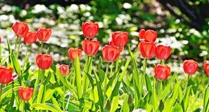 明亮的玫瑰在花床上增长 免版税库存图片