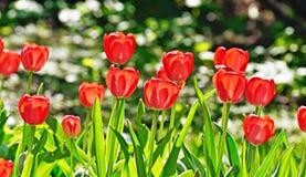 明亮的玫瑰在花床上增长 库存照片