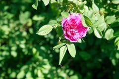 明亮的玫瑰色装饰野玫瑰果特写镜头 库存照片