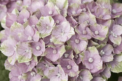 明亮的玫瑰色霍滕西亚 库存图片