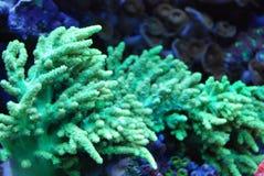 明亮的珊瑚绿色植物礁石 库存图片