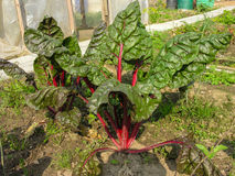 明亮的甜菜根顶在庭院里 免版税图库摄影