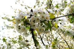 明亮的白色樱桃花和年轻人叶子 免版税库存照片