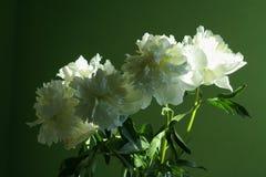 明亮的白色牡丹开花花束 免版税库存图片
