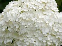 明亮的白色雪球花 库存图片