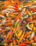 明亮的白色,红色,黄色日本人Koi鱼在水中吃食物 库存照片