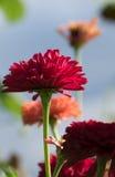 明亮的百日菊属 图库摄影