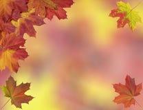 明亮的秋天槭树叶子卡片  免版税图库摄影