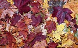明亮的秋天槭树叶子的背景 图库摄影