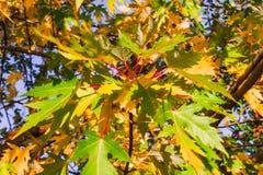 明亮的秋天槭树枝杈 图库摄影
