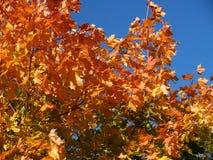 明亮的秋天槭树离开反对蓝天 图库摄影